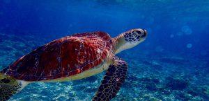 Sea turtle in Gili Trawangan, Lombok, Indonesia